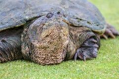 Retrato ascendente próximo da tartaruga de agarramento Fotos de Stock Royalty Free