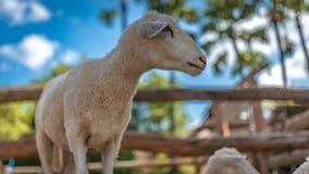 Retrato ascendente próximo de um carneiro fotos de stock