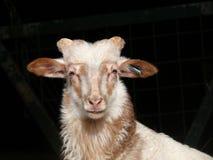 Retrato ascendente próximo de um carneiro em um fundo preto imagens de stock royalty free