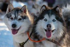 Retrato ascendente próximo do cão ronco Siberian fotografia de stock royalty free