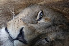 Retrato ascendente próximo do extremo do leão africano imagem de stock royalty free