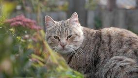 Retrato ascendente próximo do gato bonito que descansa no jardim no verão O gato cinzento com olhos amarelos olha a câmera vídeo  vídeos de arquivo