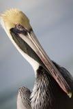 Retrato ascendente próximo do gráfico do pelicano em chaves de Florida Fotos de Stock Royalty Free