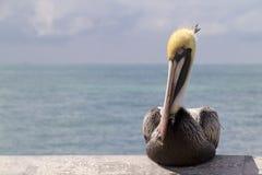 Retrato ascendente próximo do gráfico do pelicano em chaves de Florida Fotos de Stock
