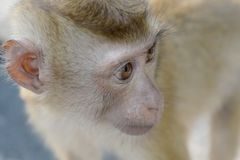 Retrato ascendente próximo do macaco imagens de stock