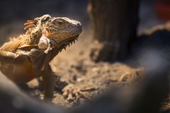 Retrato ascendente próximo do tiro da iguana Foto de Stock Royalty Free