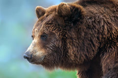 retrato ascendente próximo do urso fotografia de stock royalty free