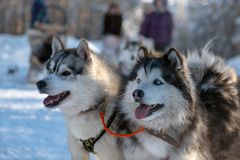 Retrato ascendente próximo dos cães roncos Siberian fotografia de stock