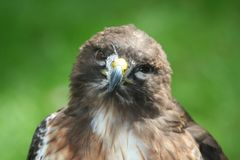 Retrato atado rojo del halcón Fotografía de archivo