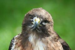 Retrato atado vermelho do falcão Fotografia de Stock