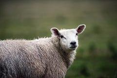 Retrato atractivo de ovejas Foto de archivo libre de regalías