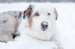 Retrato australiano del pastor Paseos enérgicos jovenes del perro imagen de archivo
