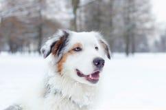 Retrato australiano del pastor Paseos enérgicos jovenes del perro imagenes de archivo