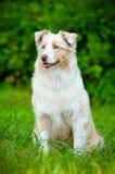 Retrato australiano del perro de pastor imagen de archivo