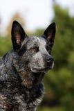 Retrato australiano del varón del perro del ganado imagen de archivo libre de regalías
