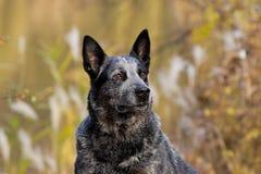 Retrato australiano del varón del perro del ganado Imágenes de archivo libres de regalías