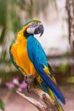 retrato Azul-e-amarelo da arara Imagem de Stock Royalty Free