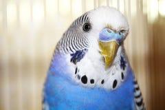 Retrato azul novo do periquito australiano Fotografia de Stock Royalty Free