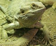 Retrato barbudo del dragón Fotos de archivo libres de regalías