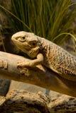 Retrato barbudo del dragón Fotografía de archivo