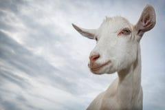 Retrato blanco de la cabra Fotos de archivo libres de regalías