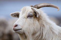 Retrato blanco de la cabra Fotografía de archivo libre de regalías