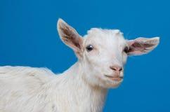 Retrato blanco de la cabra Imagenes de archivo