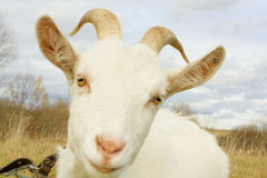 Retrato blanco de la cabra Imagen de archivo libre de regalías