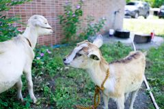 Retrato blanco de la cabra Foto de archivo