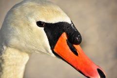Retrato blanco del cisne Foto de archivo libre de regalías