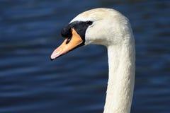 Retrato blanco del cisne Imagenes de archivo