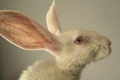 Retrato blanco del conejo Imagenes de archivo