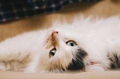 Retrato blanco del gato Imagenes de archivo