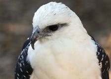 Retrato blanco del halcón Foto de archivo libre de regalías