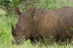 Retrato blanco del rinoceronte Fotos de archivo