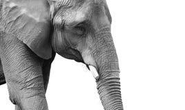 Retrato blanco y negro de gran alcance del elefante Fotos de archivo libres de regalías