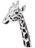 Retrato blanco y negro de la jirafa Fotografía de archivo