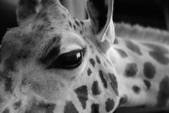 Retrato blanco y negro de la jirafa Foto de archivo libre de regalías