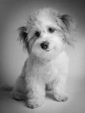 Retrato blanco y negro de la mezcla maltesa del perro de la raza de la mezcla Imagen de archivo