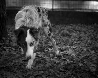 Retrato blanco y negro del perro de pastor de Australain