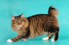 Retrato Bobtail del gato Fotografía de archivo libre de regalías