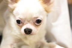 Retrato bonito branco do cachorrinho Imagens de Stock Royalty Free