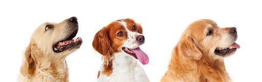 Retrato bonito de três cães que olham acima Foto de Stock