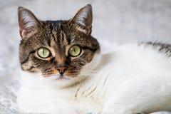 Retrato bonito de um gato de gato malhado que encontra-se na cama e que olha na câmera Gato colorido engraçado com cabeça e parte Imagem de Stock Royalty Free