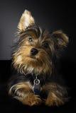 Retrato bonito de um terrier de Yorkshire novo Fotografia de Stock Royalty Free