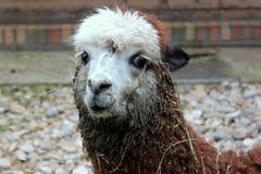 RETRATO BONITO DO ANIMAL DA LAMA DA ALPACA Fotografia de Stock Royalty Free