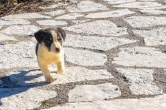 Retrato bonito do cão pastor do bebê Feche acima do olhar Imagem de Stock Royalty Free