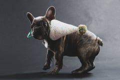 Retrato bonito do cachorrinho do buldogue francês imagens de stock royalty free