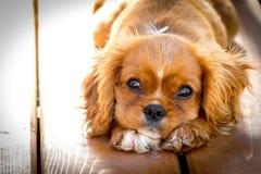 Retrato bonito do cachorrinho do por do sol com amor imagem de stock royalty free