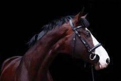 Retrato bonito do cavalo de baía no fundo preto Imagem de Stock Royalty Free